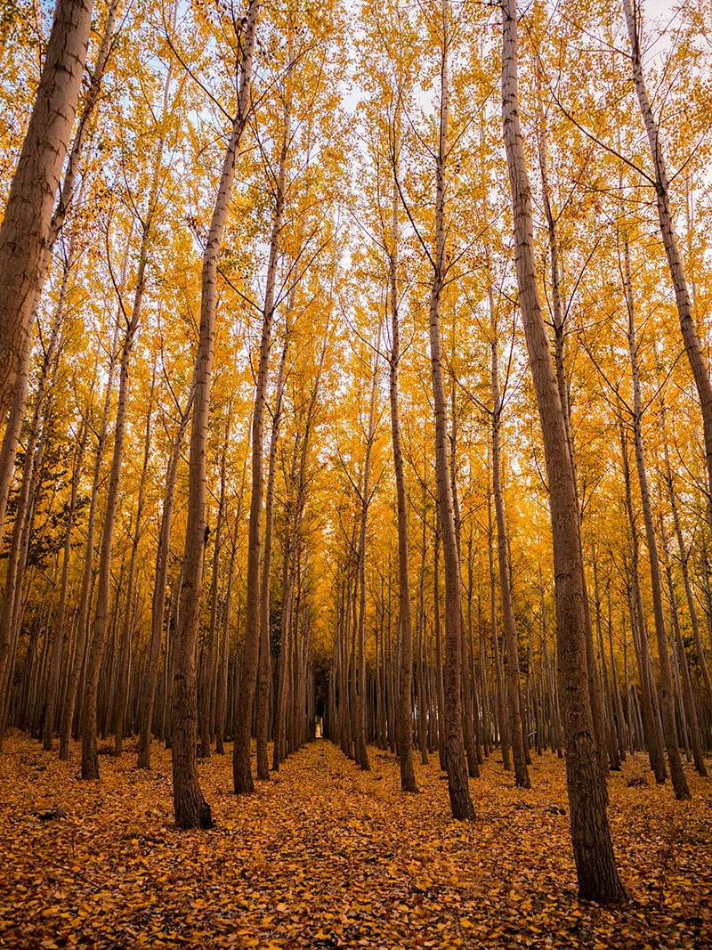 tall deciduous trees turning yellow in fall