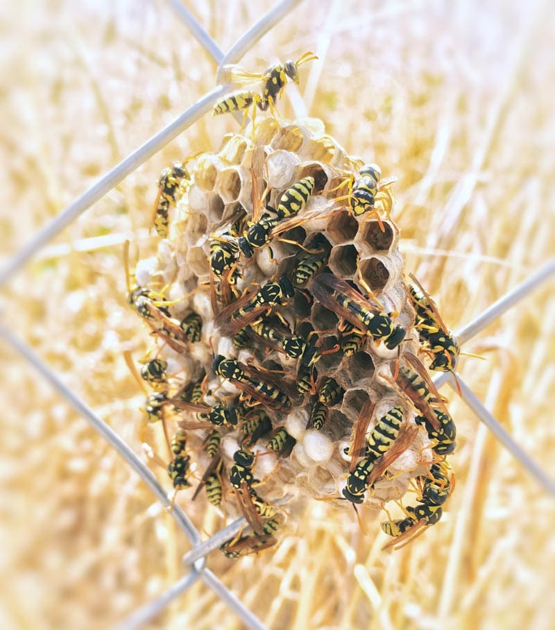 Natural Wasp Deterrent | Eartheasy Guides & Articles
