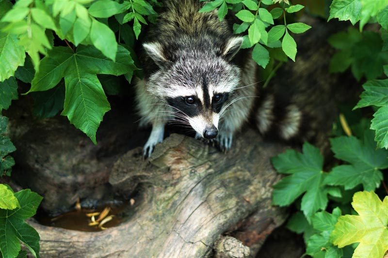 raccoon peeking out from forest undergrowth