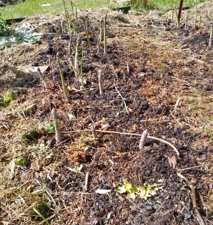 Last years' stalks are cut down in perennial asparagus beds, and mulch is kept low to enable new shoots to emerge without obstructions.