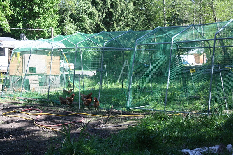 In the new location, the chickens will clear and fertilize ground for future plantings.