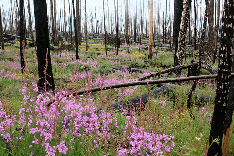 Fireweed takes advantage of a burn site.