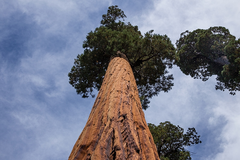 Sequoias depend on the heat of forest fires for their seed cycle.