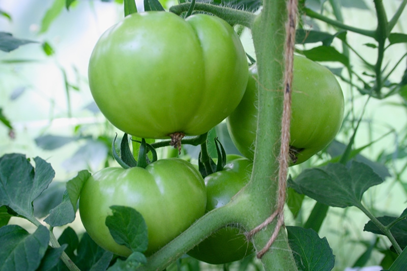How to Trellis Tomatoes for Maximum Yield | Eartheasy Guides & Articles