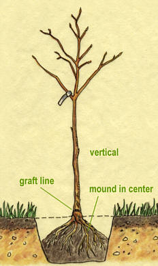 Fruit Trees Eartheasy Guides Amp Articles