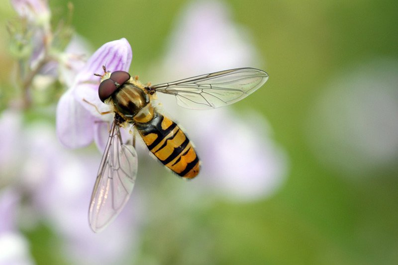 Bees, Flies, Wasps, Midges and Related Species Photo ...