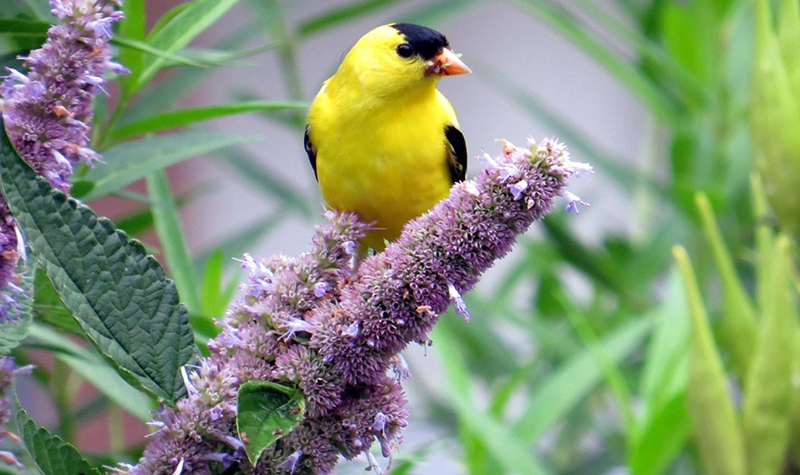 goldfinch on anise hyssop flowers