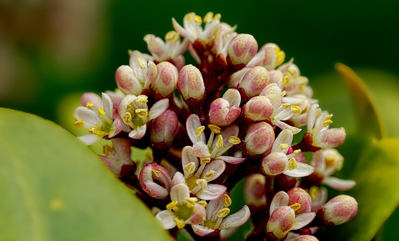 bay laurel blossom