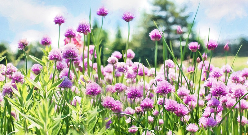 cluster of blooming chives