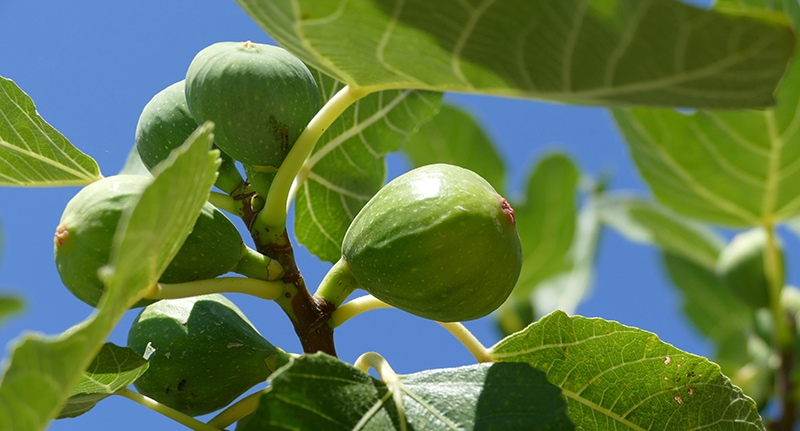 fruiting fig tree