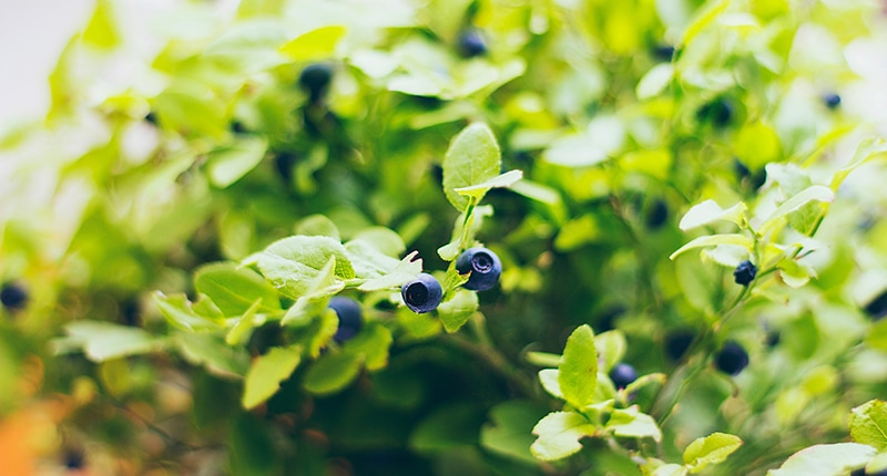blueberry bush in an edible landscape