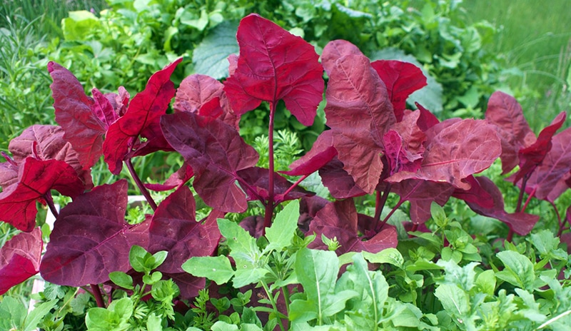 red orach spinach