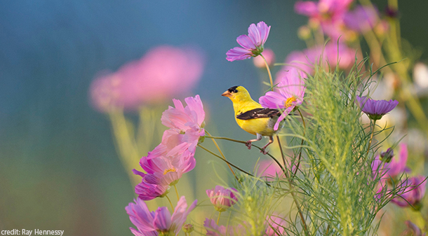 goldfinch perches on pink cosmos in a bird-friendly yard